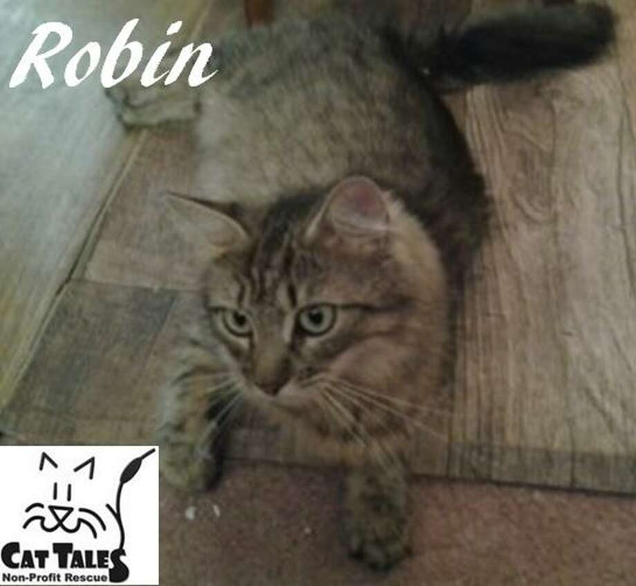 "Robin is 2 years old, a domestic longhaired brown tabby. She says, ""Cat Tales rescued me from a burnt out abandoned house, two days after finding my 7, 2-week old kittens. I was a good mom and they all grew up into sweet little kittens. Now that I know they are all adopted and going to good homes, I am ready for a forever home of my own. I am a playful and friendly kitty who loves to be petted and brushed. It would be great to find a home where I can curl up on the couch or sleep with my special person. I have never met a dog, but introductions were done properly with a very cat friendly dog, so I should be okay. Won't you please come meet me?"" Visit http://www.CatTalesCT.org/Robin, call 860-344-9043 or email: info@CatTalesCT.org. Watch our TV commercial: https://youtu.be/Y1MECIS4mIc Photo: Contributed Photo"