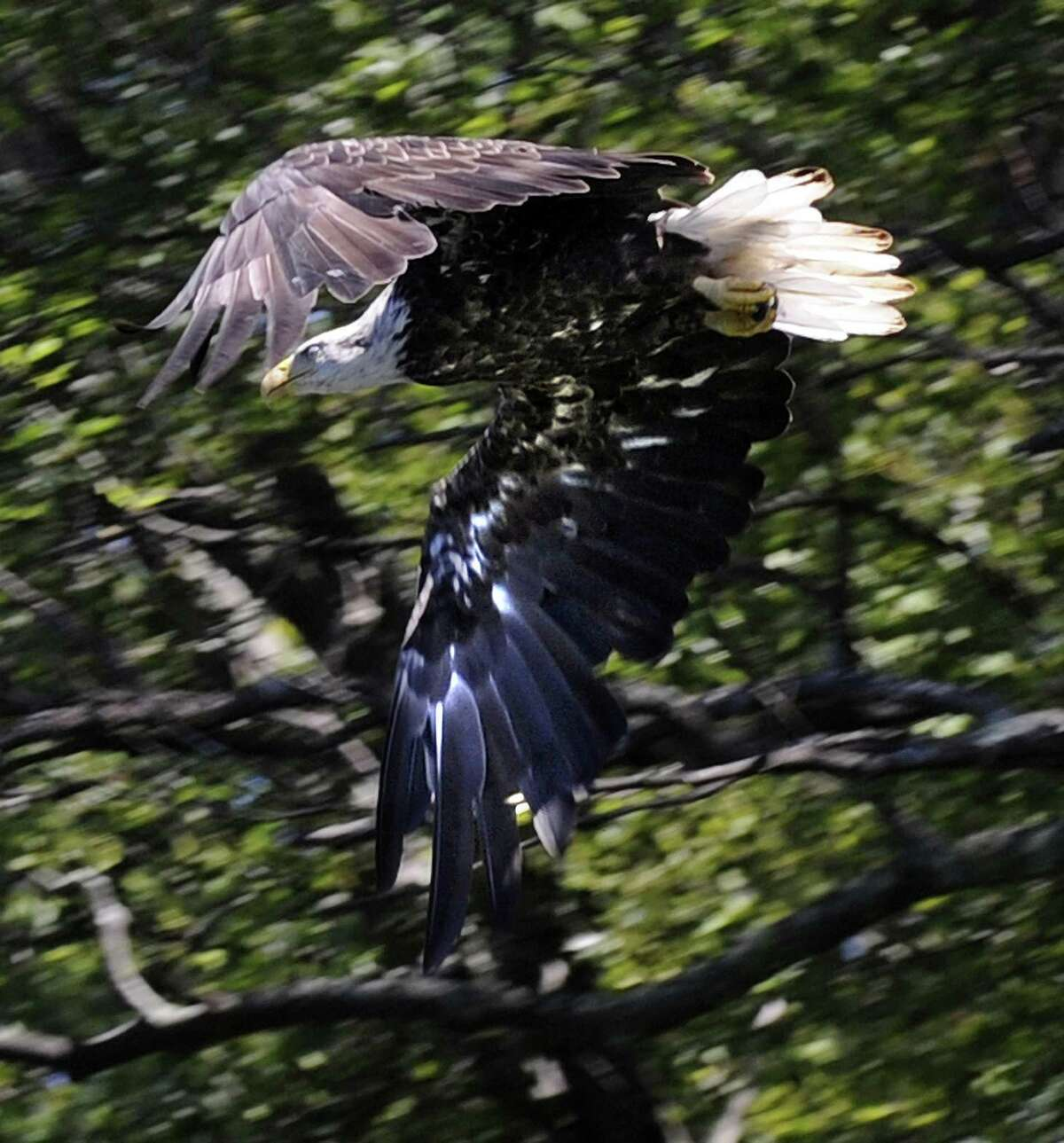 A bald eagle flies over Candlewood Lake Thursday, July 19, 2018.