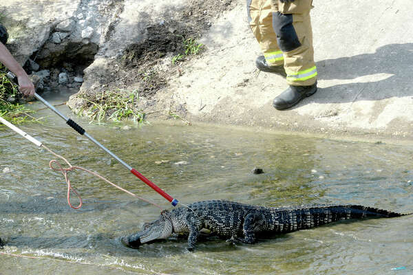 Members of Gator Country, Beaumont Fire and Rescue and a Game Warden worked together to extract a roughly 6-foot alligator from behind a wall of a drainage ditch on 23rd Street. The gator was reported to the fire department after children walking in the area spotted it in the culvert. After more than an hour, the DD6 okay'd a request to bust through the wall to remove the gator.  Thursday, July 19, 2018  Kim Brent/The Enterprise