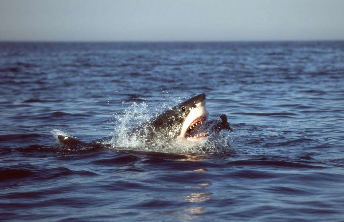 Sharks can be ruthless killing machines, but social panics often exaggerate their actual threat. Americans should feel the same way about transnational prison gangs. In this undated photo released by The University of Miami, a white shark is seen successfully lunging for and capturing a juvenile fur seal at the surface in False Bay, South Africa in 2004.