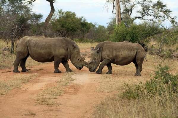 White Rhinoceroses face off in Kruger National Park, South Africa.