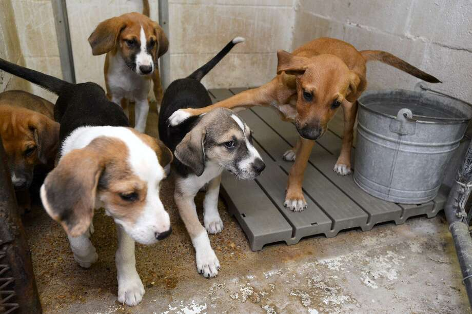 A litter of puppies at Vidor Animal Control. The shelter will have an adoption event Saturday from 8 a.m. to noon. The adoption fee for dogs is $10 with a $15 rabies vaccine required for dogs over four months old.   Photo taken Friday 7/20/18  Ryan Pelham/The Enterprise Photo: Ryan Pelham / The Enterprise / ©2018 The Beaumont Enterprise