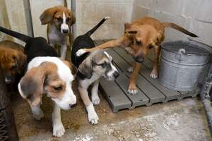 A litter of puppies at Vidor Animal Control. The shelter will have an adoption event Saturday from 8 a.m. to noon. The adoption fee for dogs is $10 with a $15 rabies vaccine required for dogs over four months old.   Photo taken Friday 7/20/18  Ryan Pelham/The Enterprise