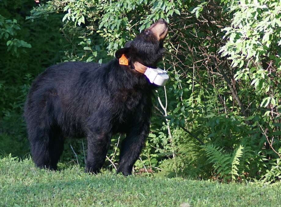 A black bear was spotted in the backyard of a Florence Street home in Winsted on July 19, 2018. Photo: David Chamberlain / Submitted Photo