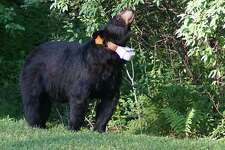 A black bear was spotted in the backyard of a Florence Street home in Winsted on July 19, 2018.