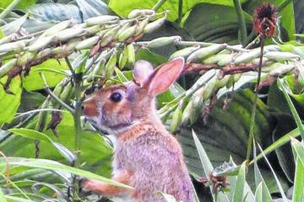 A rabbit enjoys the fruits — and vegetables — of labor in a backyard garden.