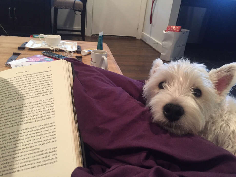 Moby, the Westie already waiting for me at home. Photo: Alex Stuckey, Houston Chronicle