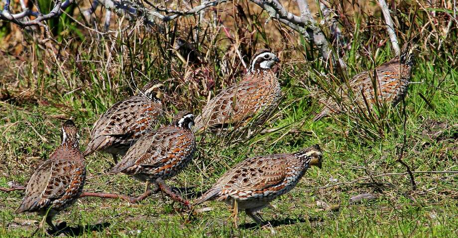 Quail had a dry, tough winter and spring in much of Texas, but improved habitat conditions in South Texas and other regions blessed by spotty rains in June and early July could trigger a flurry of late-season nesting by the resilient game birds. Photo: Shannon Tompkins/Houston Chronicle
