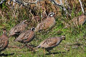 Quail had a dry, tough winter and spring in much of Texas, but improved habitat conditions in South Texas and other regions blessed by spotty rains in June and early July could trigger a flurry of late-season nesting by the resilient game birds.