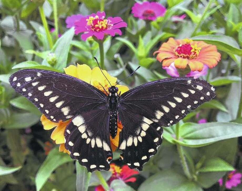 A swallowtail butterfly landed on zinnias in a garden.