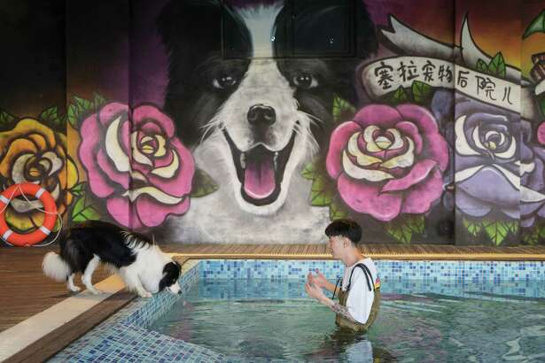 Zhou Tianxiao instructs Sylar, a border collie, to jump into the pool at his pet mansion in Beijing that also has a spa and a trampoline.