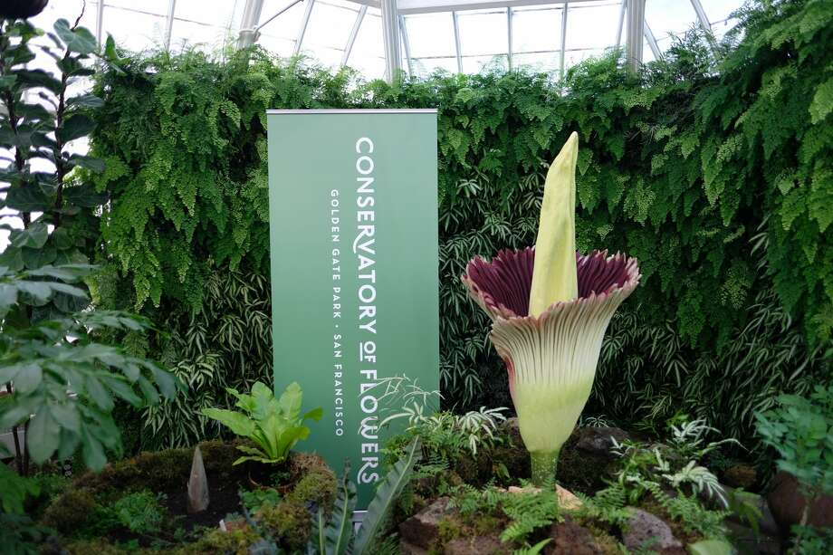 The corpse flower at San Francisco's Conservatory of Flowers reached its peak bloom Sunday, and visitors in the next few days will be able to experience — and smell — the flower in person. Photo: Courtesy Conservatory Of Flowers