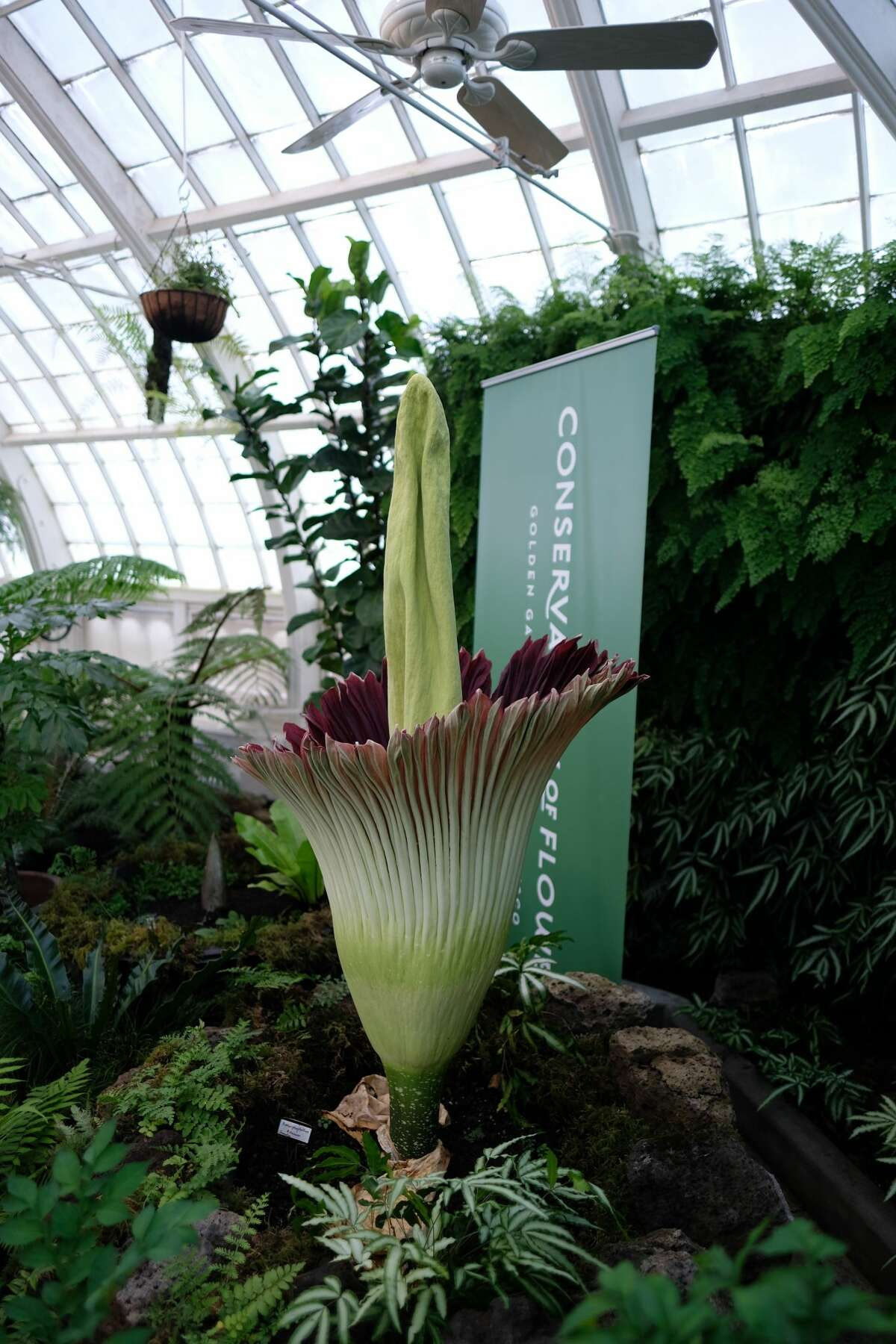 The corpse flower at San Francisco's Conservatory of Flowers reached its peak bloom Sunday, and visitors in the next few days will be able to experience - and smell - the flower in person.
