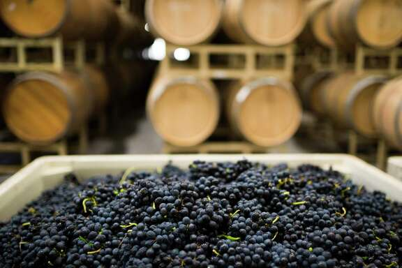 Duchman Family Winery harvests Syrah grapes from Salt Lick Vineyards.