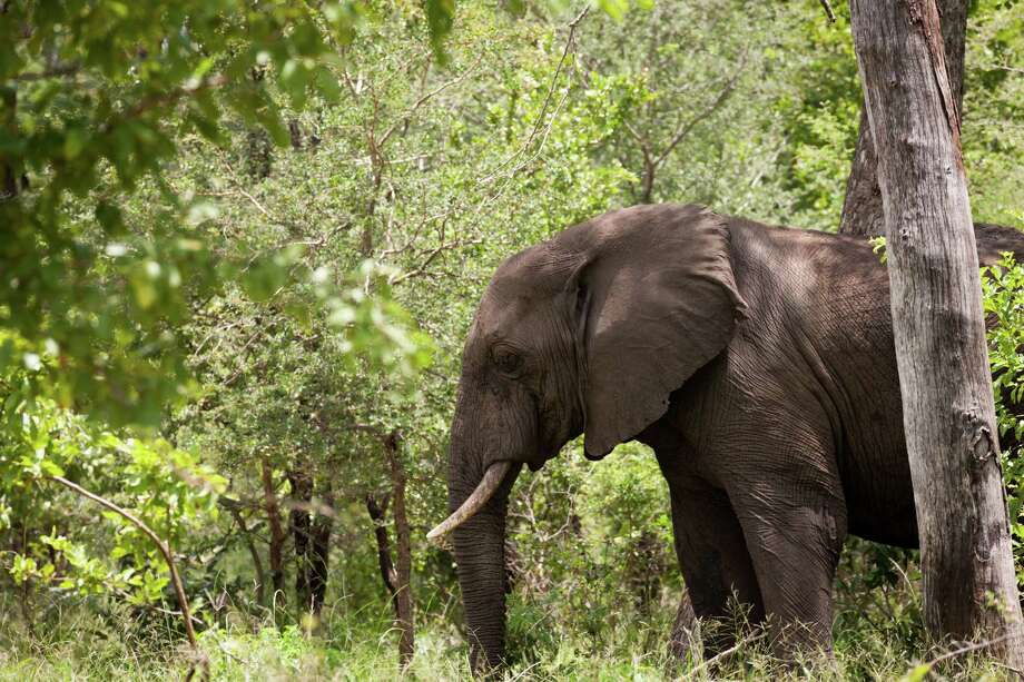 An elephant walks through the forest in the Majete Wildlife Reserve in Malawi, in February. Photo: Photo For The Washington Post By Adriane Ohanesian / For The Washington Post