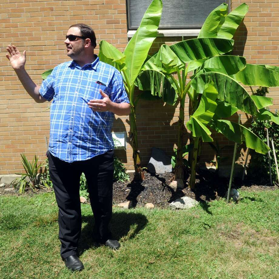 Eugene Zampieron of the University of Bridgeport's school of Naturopathic Medicine stands next to a Japanese banana tree as he leads a tour of the school's campus garden in Bridgeport, Conn. July 19, 2018. The garden contains dozens of exotic plants, many rarely found in New England. Photo: Ned Gerard / Hearst Connecticut Media / Connecticut Post