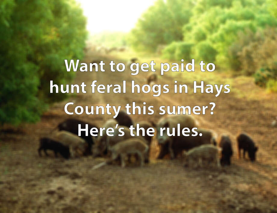 Want to get paid to hunt feral hogs in Hays County this summer? Here's the rules. Photo: FILE PHOTO