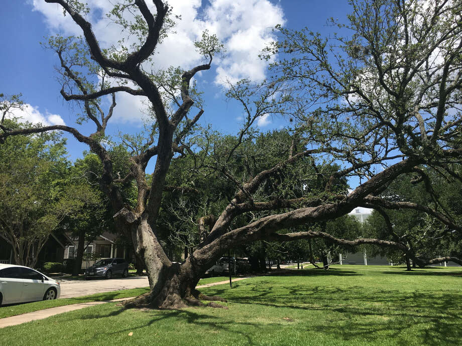 Many Houston residents were saddened to learn that a beloved tree on the grounds of the Menil art museum had been removed. Photo: Photo Courtesy Of The Menil Collection