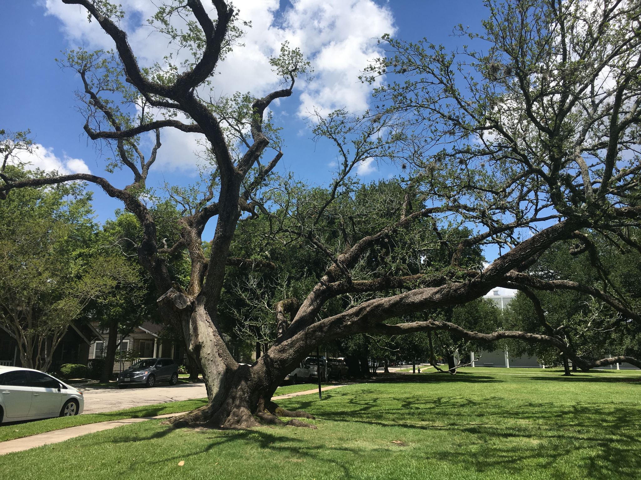 Watching The Menil Live Oak Die Houstonchronicle Com