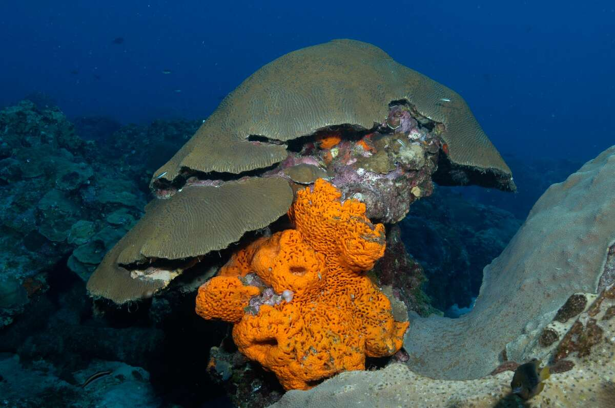 Brightly colored sponges live in harmony with the corals and make up an important part of the ecosystem. (G.P. Schmahl/Courtesy NOAA)