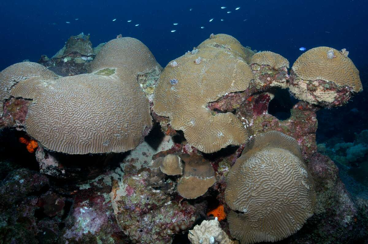 Reef-building corals, such as these brain corals, occupy about 50% of the surface area on sanctuary reefs.