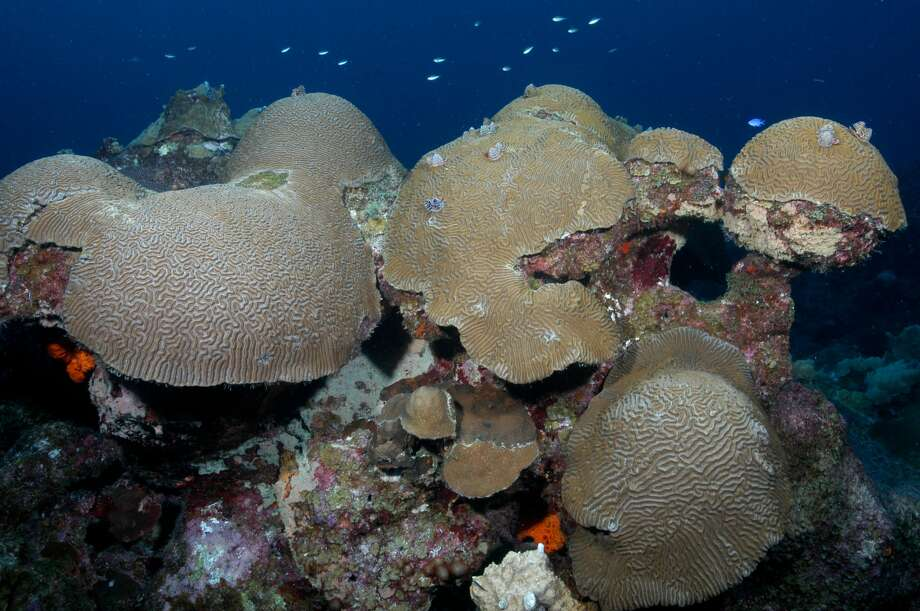Reef-building corals, such as these brain corals, occupy about 50% of the surface area on sanctuary reefs. Photo: G.P. Schmahl/Courtesy NOAA