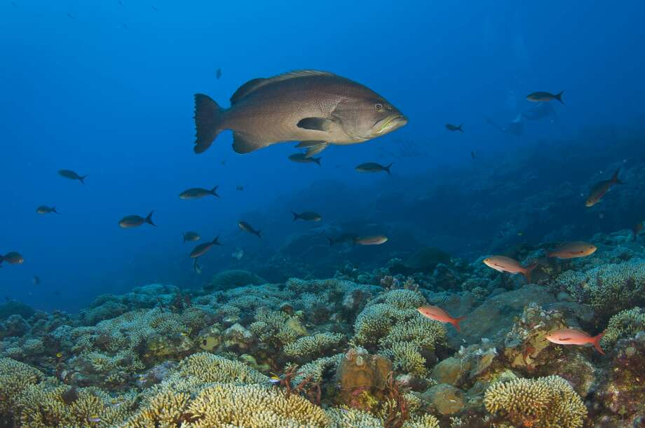 A  popular sport fish, yellow mouth grouper, hangs out above a thriving, healthy reef. (G.P. Schmahl/Courtesy NOAA)