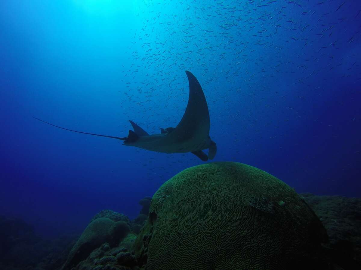 Flower Garden Banks National Marine Sanctuary has been identified as a nursery area for manta rays. It is one of the very few places identified worldwide. (Marissa Nuttall/Courtesy NOAA)