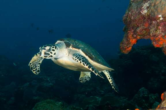 Hawksbill turtle is one of two turtle species that calls Flower Garden Banks National Marine Sanctuary home during part of its life.