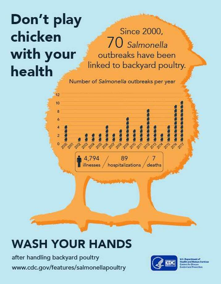 Salmonella infections from backyard chickens have sickened more than 200 people  nationwide this year, including one person in Connecticut. Photo: Contributed / Centers For Disease Control And Prevention