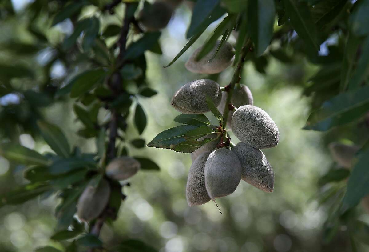 (FILES) In this file photo taken on April 24, 2015, Almonds hang from a branch at an almond orchard in Firebaugh, California. From car engines and computer chips to pistachios, almonds and wine: the powerful economy of California will be seriously impacted if the trade war between the United States and China deepens. / AFP PHOTO / JUSTIN SULLIVANJUSTIN SULLIVAN/AFP/Getty Images