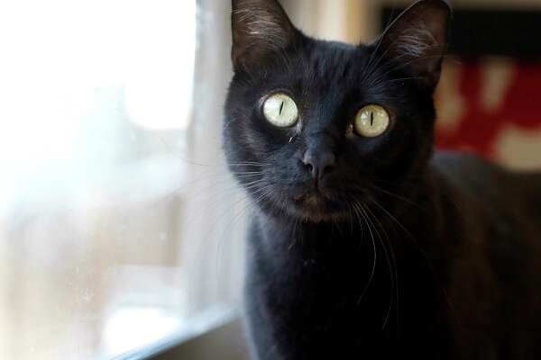 TOMASA (Animal ID: A1408705) a spayed female, black cat, about 3-years-old, has been in the shelter the longest at 45 days and is available for adoption from BARC animal shelter, Wednesday, July 25, 2018, in Houston.