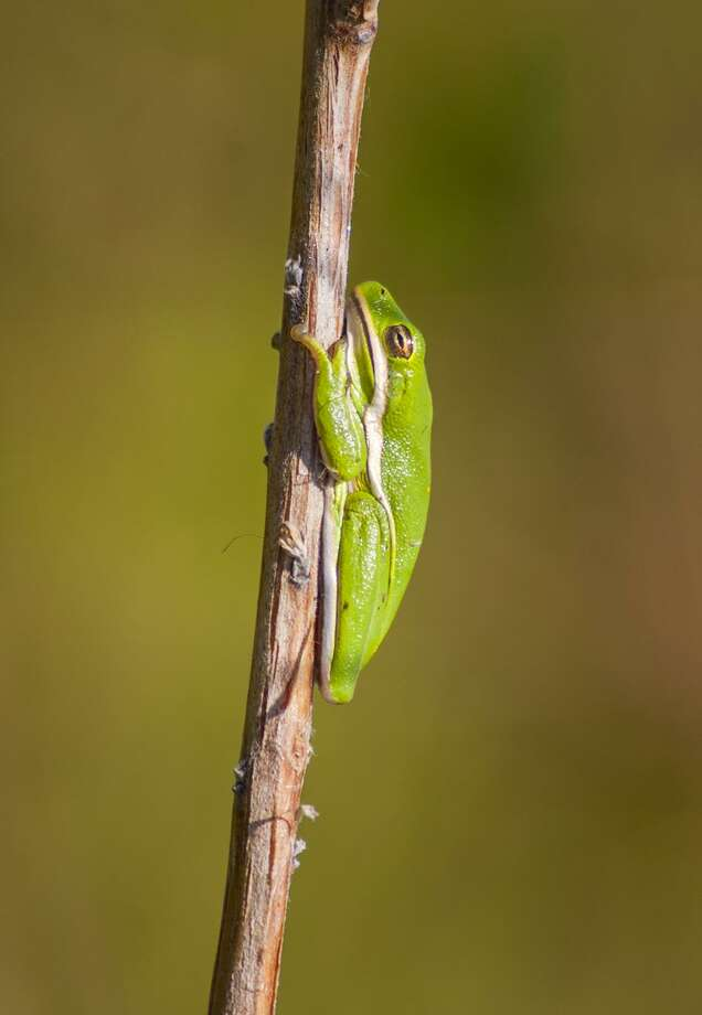 Green treefrogs sound like miniature honking geese and add their voices to the summer chorus of frogs and toads. Photo: Kathy Adams Clark / Kathy Adams Clark/KAC Productions / Kathy Adams Clark/KAC Productions