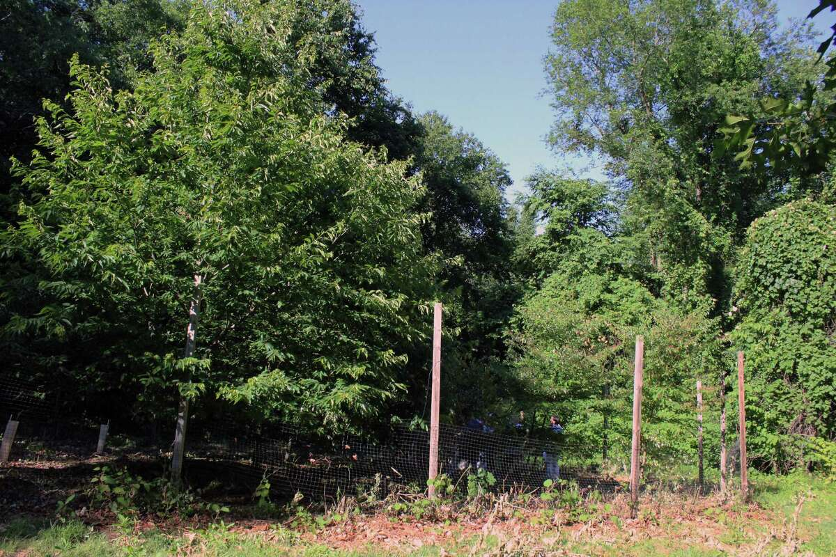 American Chestnut trees planted in 2012 are thriving at the Lake Mohegan open space. The trees were wiped out nearly a century ago by a blight fungus. Fairfield,CT. 7/24/18