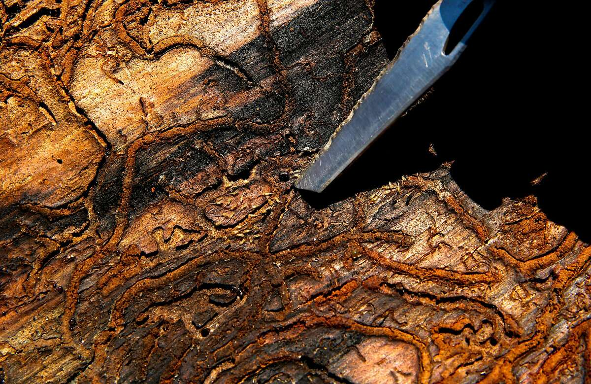 The inside of the bark from a Ponderosa Pine that is infested by the Western Pine Beetle near Mariposa, California on Wed. June 29, 2016. Tens of thousands of trees killed by drought are being removed to prevent fire danger but since there's no place to put them, they're being stacked along roads or piled near homes.