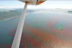 An expansive red-brown algae bloom has been spotted off the coast of Lummi Island, a couple hours north of Seattle