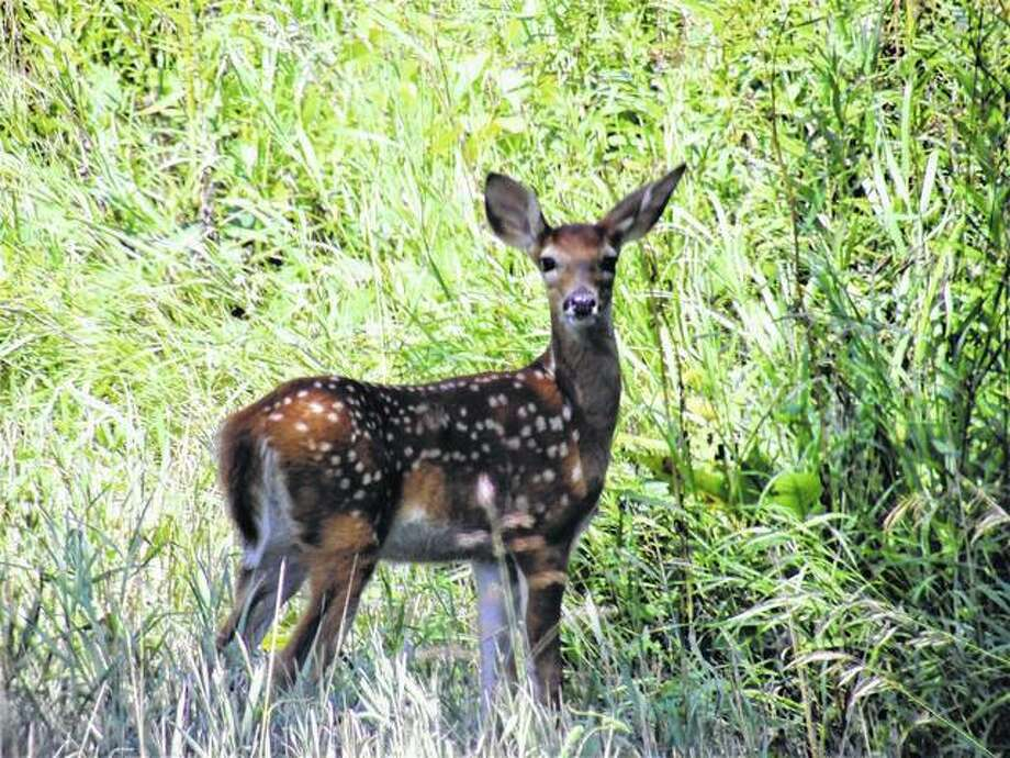 A fawn stops to look back after crossing the Roodhouse Blacktop before ambling into the woods.