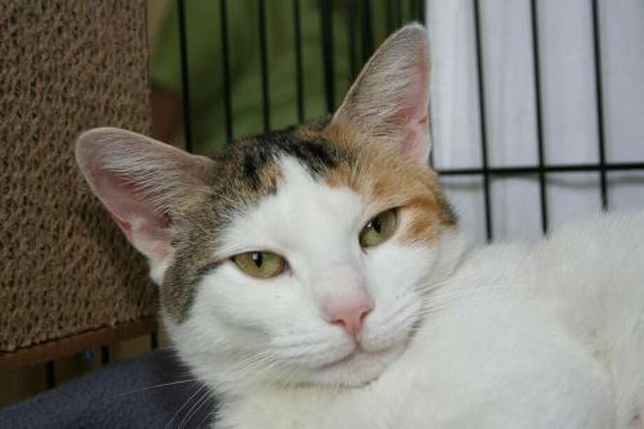 Arrista is currently in a foster home as she was too stressed to hang out in a shelter environment. She'd like to be a princess in her very own castle. She's sweet, clean, and would make a great companion for a loving home. An app is required to set up a meeting to approved applicants. To reach Marys Kitty Korner, call 860-379-4141/413-297-0537 or email marys.kitty.korner@sbcglobal.net. Photo: Contributed Photo