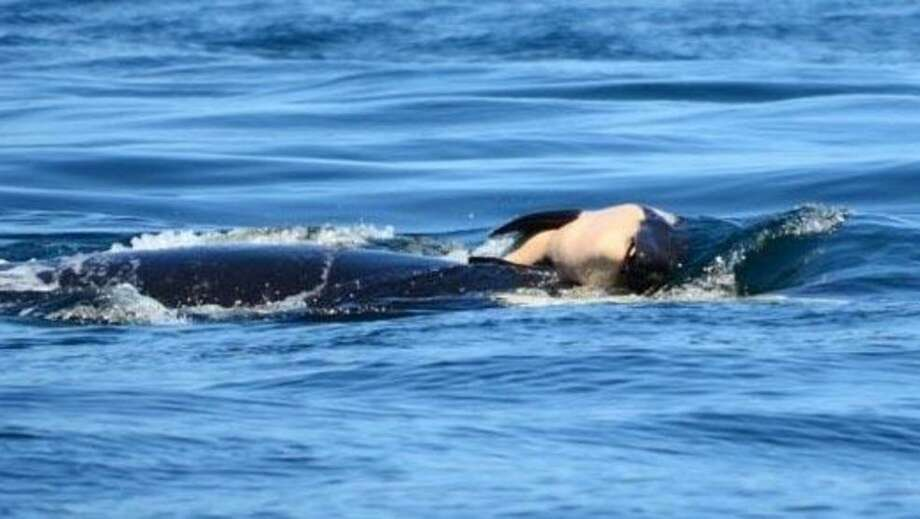 J35 has been carrying her dead calf on her back or by her fin for seven days.