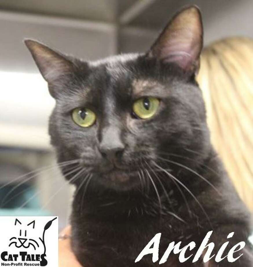 """Archie is a 9-month-old black male kitty. He says, """"I was found as a stray on the streets. I am such a sweet, laid back boy. I love to be held and love affection, and I am also very playful. I'd love to come home and cuddle with you. Please adopt me."""" Learn more at http://www.CatTalesCT.org/cats/Archie-2, call 860-344-9043, or email: info@CatTalesCT.org. Watch our TV commercial: https://youtu.be/Y1MECIS4mIc Photo: Contributed Photo"""