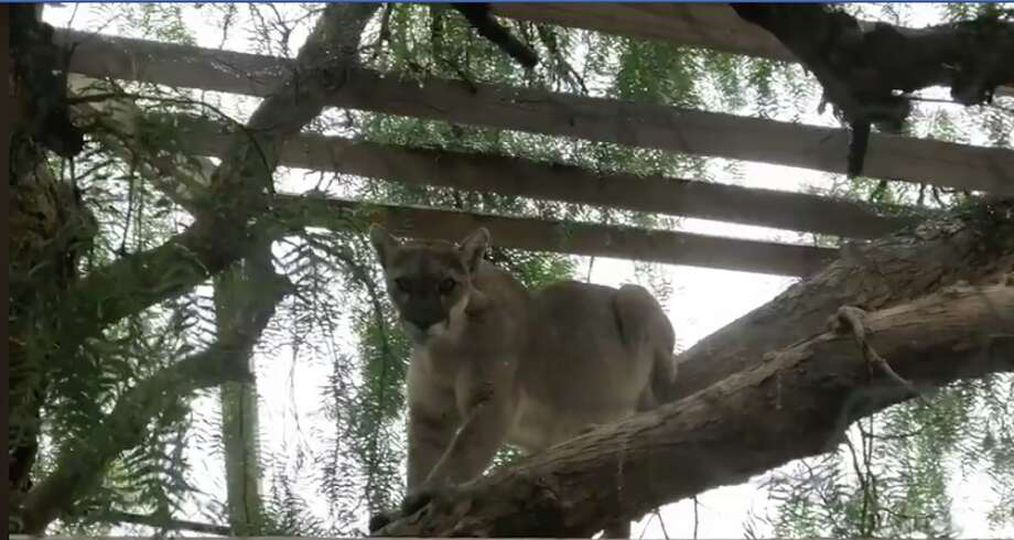 A mountain lion broke into an enclosure and ate two peacocks this week, according to the sanctuary's founder. Click through the gallery for more California animal stories. Photo: Courtesy Skydog Sanctuary