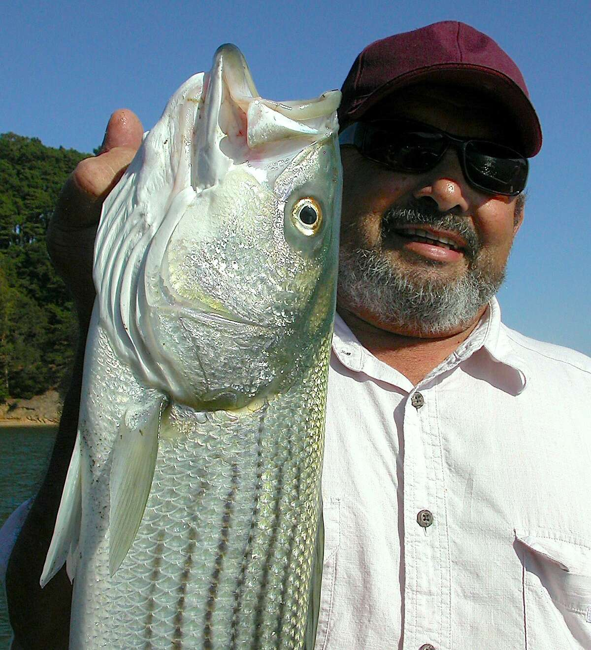 Rico Petri displays a beautiful striped bass he caught casting with a spinning rod along the Marin shoreline near Tiburon in San Francisco Bay