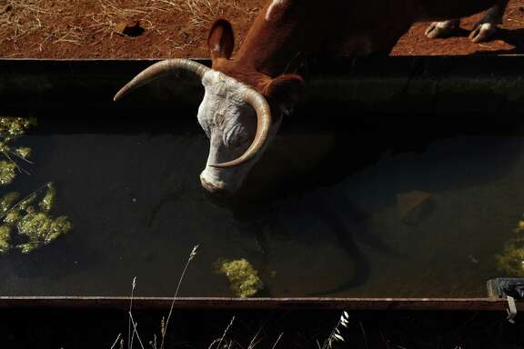 A cow drinks from a trough on land adjacent to Renaissance Winery in Oregon House, California.