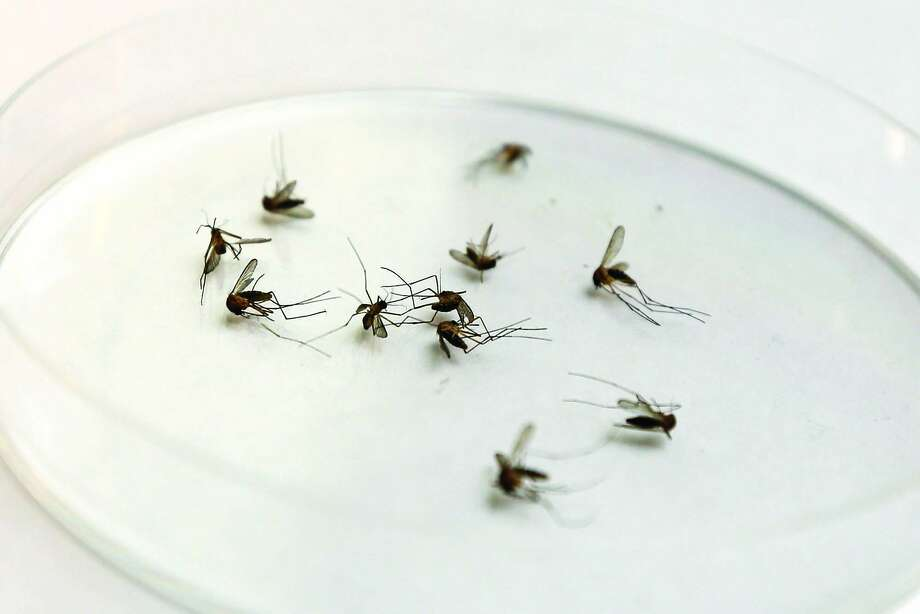 A collection of mosquitos sit in a petri dish for West Nile virus testing. Photo: Michael Minasi