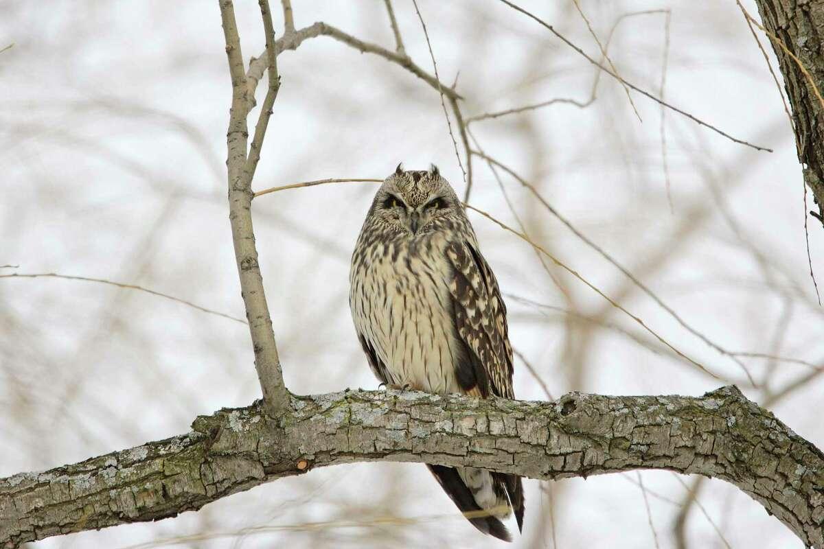 An endangered Short-eared Owl in the Washington County Grasslands Important Bird Area. (Gordon Ellmers)