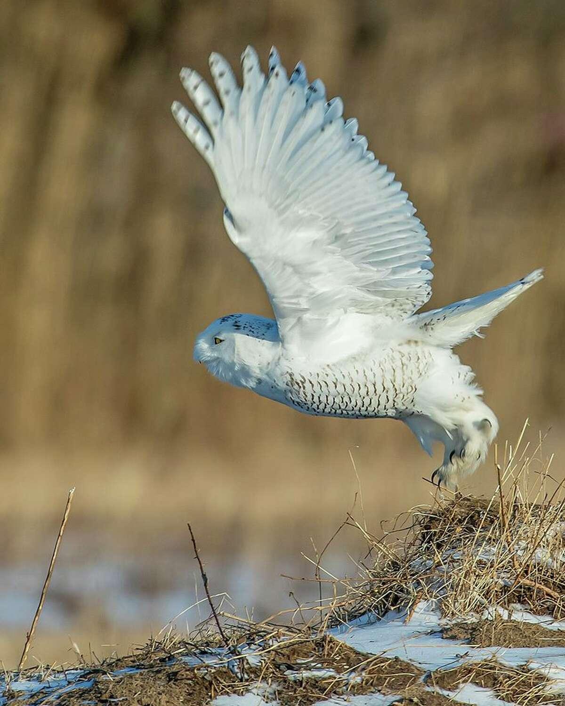 A snowy owl takes flight in a field near Fort Edward in Washington County.