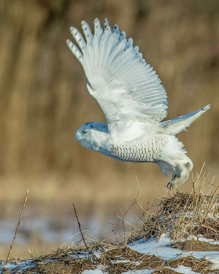 A snowy owl takes flight in a field near Fort Edward in Washington County. Photo: Courtesy Of Ken Rohling