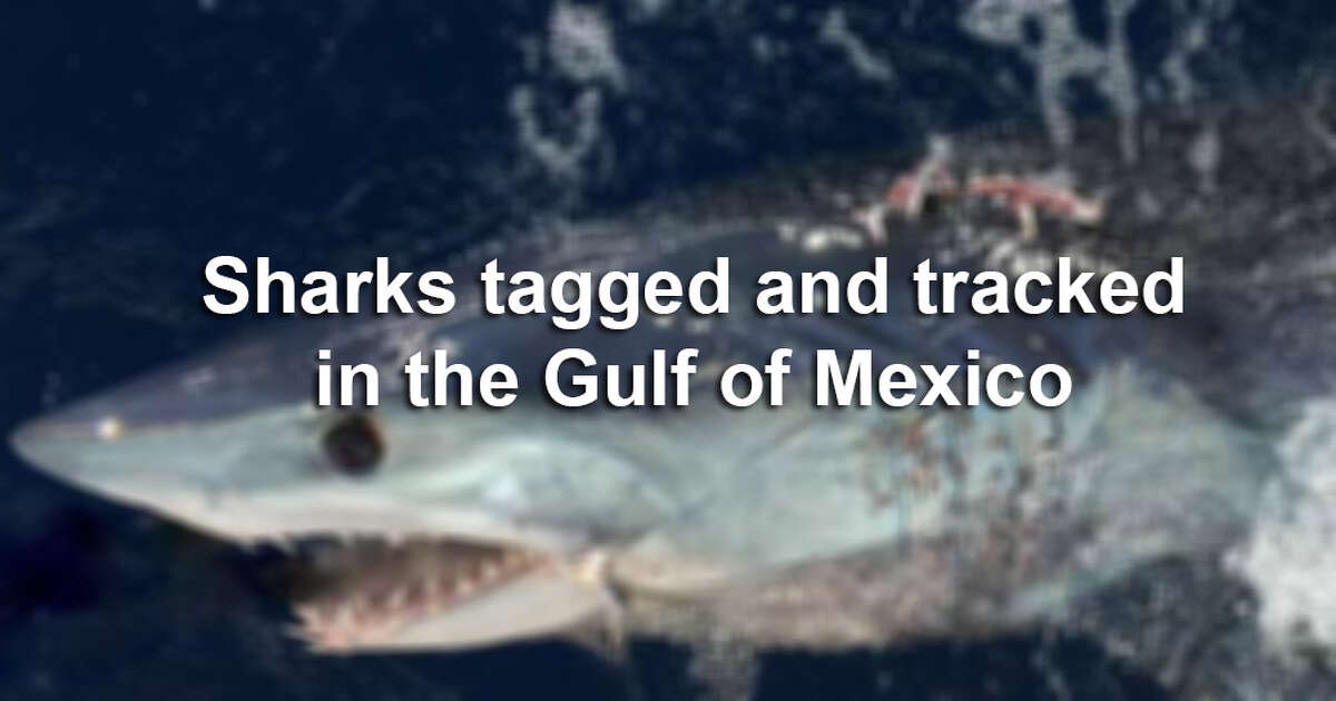 These are known sharks tagged and tracked in the Gulf of Mexico