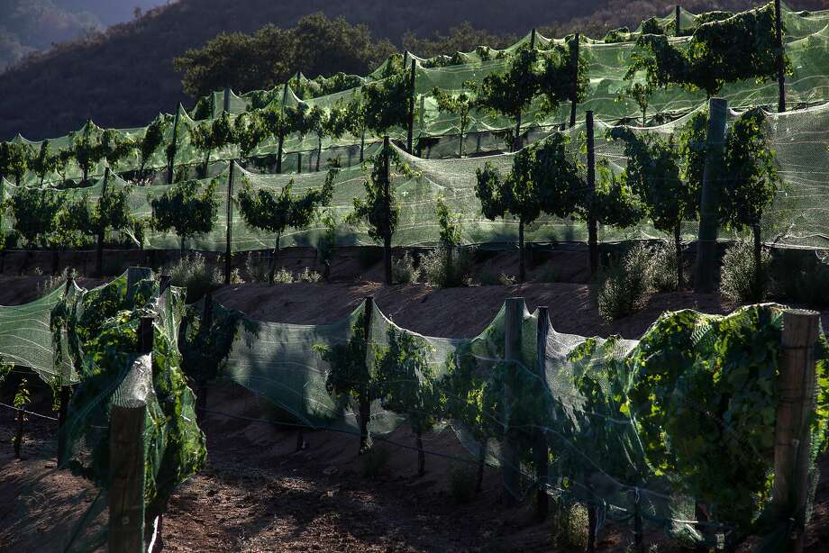 Vines planted on terraces at Eden Rift Vineyards have netting placed over them, to keep birds from eating fruit and leaves. Photo: Patrick Tehan / Special To The Chronicle