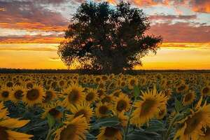 A field of sunflowers in Woodland by @giancarlopaterlini .
